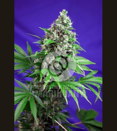 SWEET SEEDS - Killer Kush Fast Version
