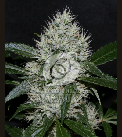 ROYAL QUEEN SEEDS - O.G. Kush
